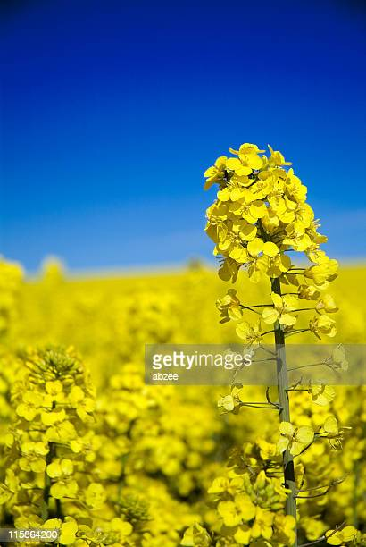 Close up of oilseed rape canola with blue sky