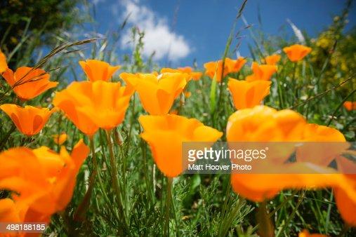 Close up of orange california poppies (Eschscholzia Californica)