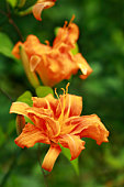 Close Up of Orange Daylily