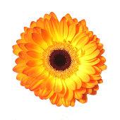 Close up of Orange gerbera
