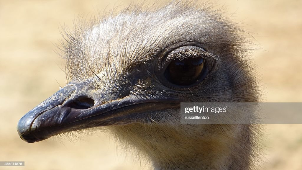 Close up of Ostrich : Stock Photo