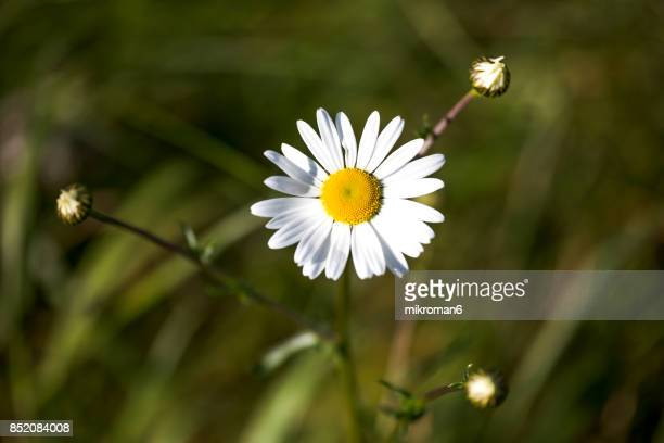 Close up of  ox-eye daisy daisies in Tipperary meadow on sunny summer day, Ireland.