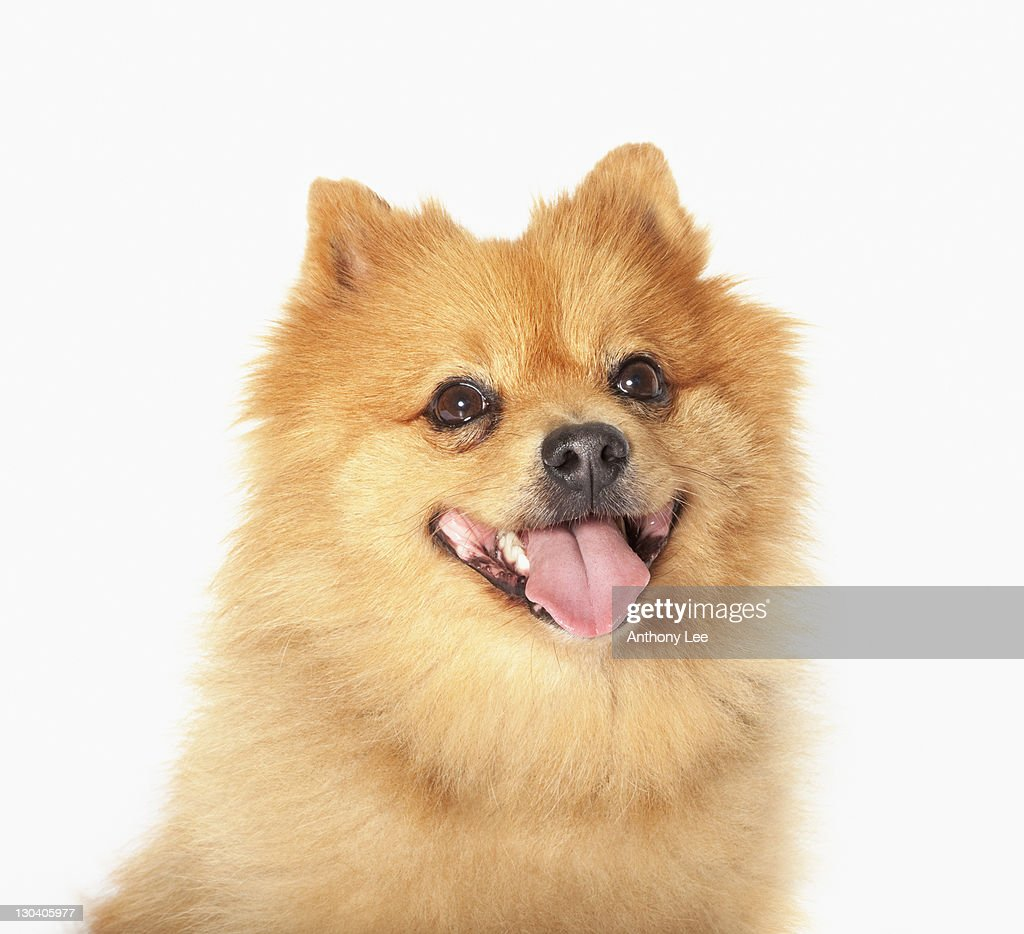 Close up of panting dog's face : Foto de stock