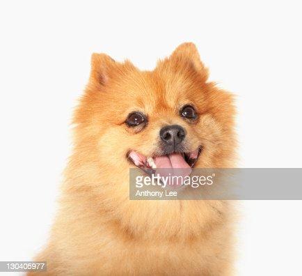 Close up of panting dog's face : Stock Photo