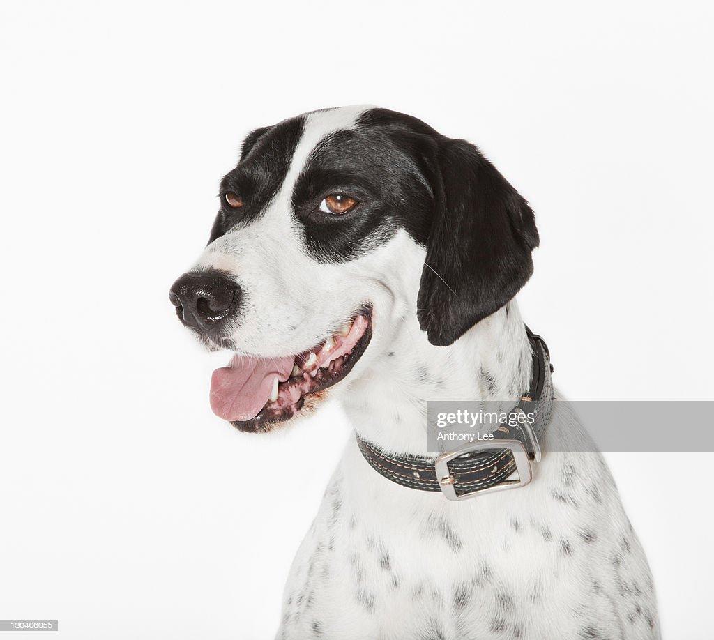Close up of panting dog's face
