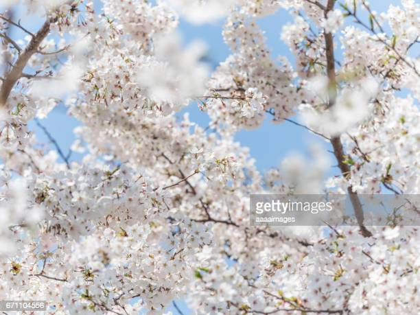 Close up of peach blossom in spring against blue sky