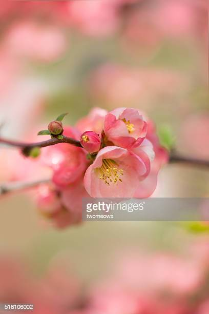 Close up of peach blossom in spring, Kyoto Botanical garden.