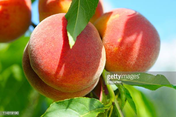 Close up of peaches on a tree ripening in the sun