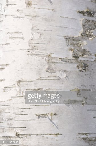 Close up of peeling birch bark