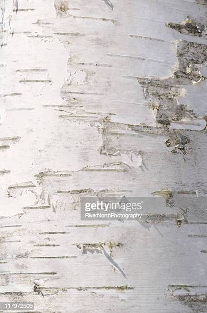 Un gros plan de peeling écorce de bouleau