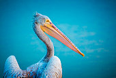 Close up of golden hour sunlit pelican on a blue water background