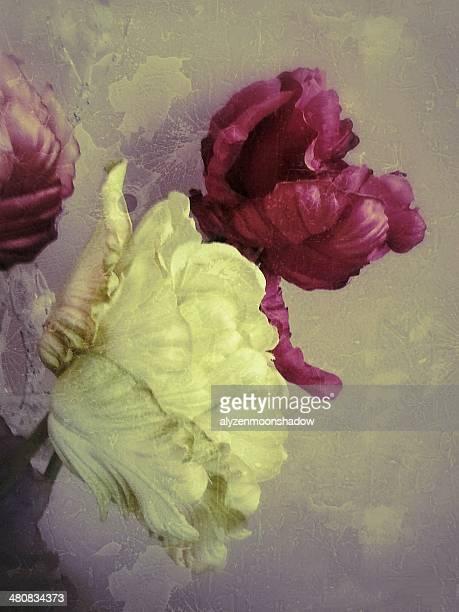 peonie 花のクローズアップ