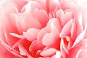 Close up of peony petal