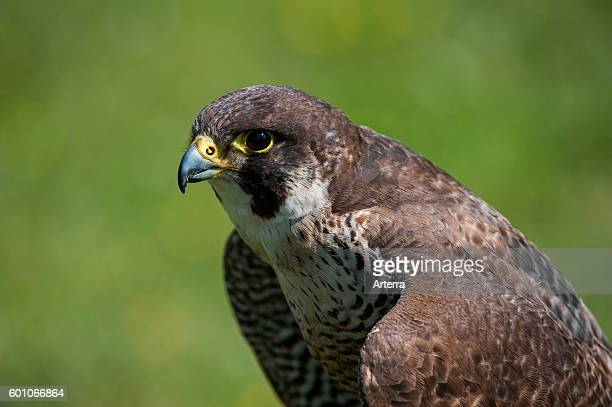 Close up of Peregrine falcon