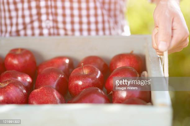 Close up of person holding tray of apples.