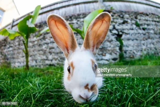 Close up of pet rabbit looking straight at camera