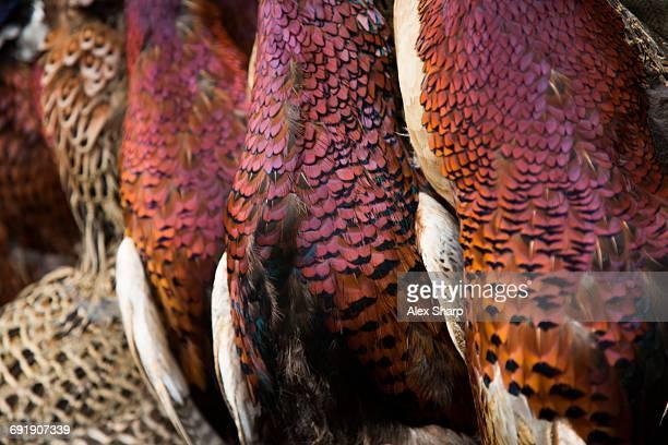 Close up of Pheasants