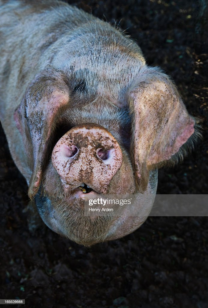 Close up of pigs muddy snout