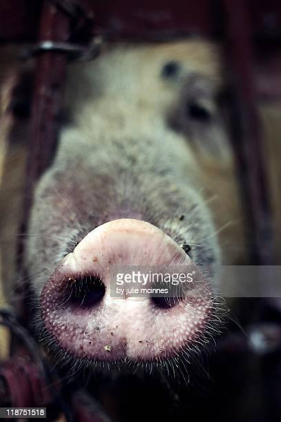 Close up of pigs snout