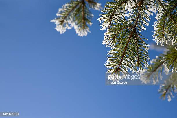 Close up of pine needles with hoar frost