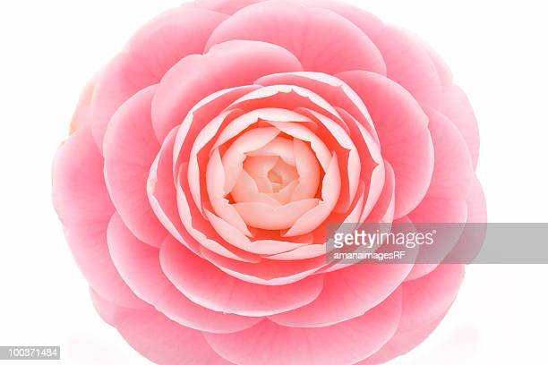 Close up of pink camellia, white background