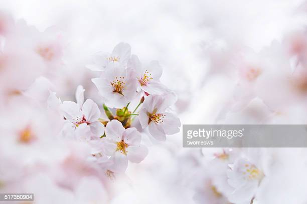Close up of pink cherry blossom in spring. Japan.