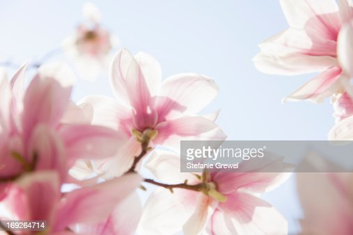 Close up of pink flowers : Stock Photo