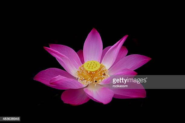 Close up of pink Lotus flower (Nelumbo Nucifera)