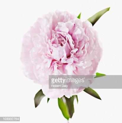 Close up of pink peony