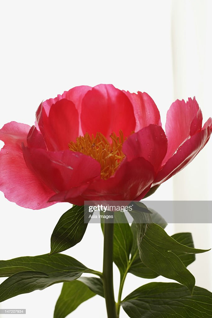 Close up of pink peony. : Stock Photo