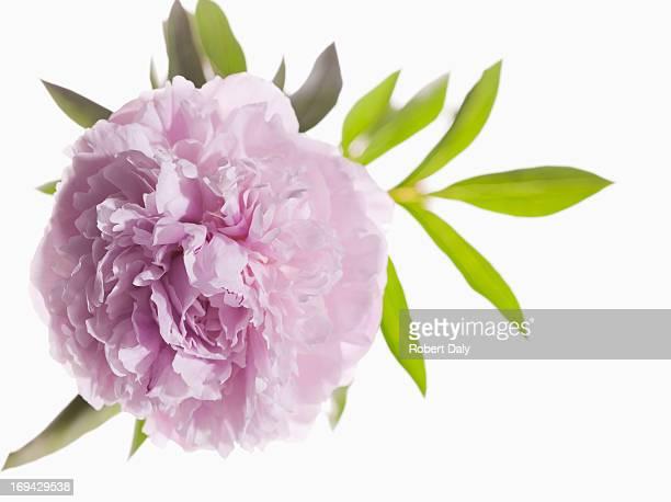 Primo piano di rosa peonia