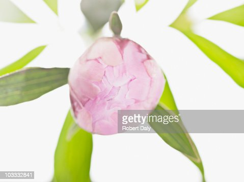 Close up of pink peony ready to bloom : Stock Photo