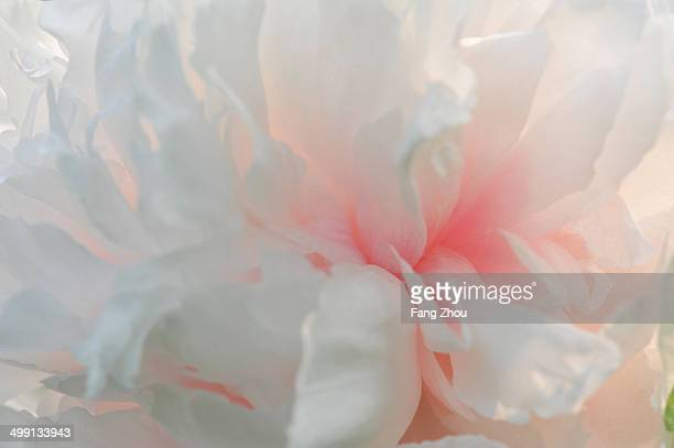 Close up of pink petaled flowerhead