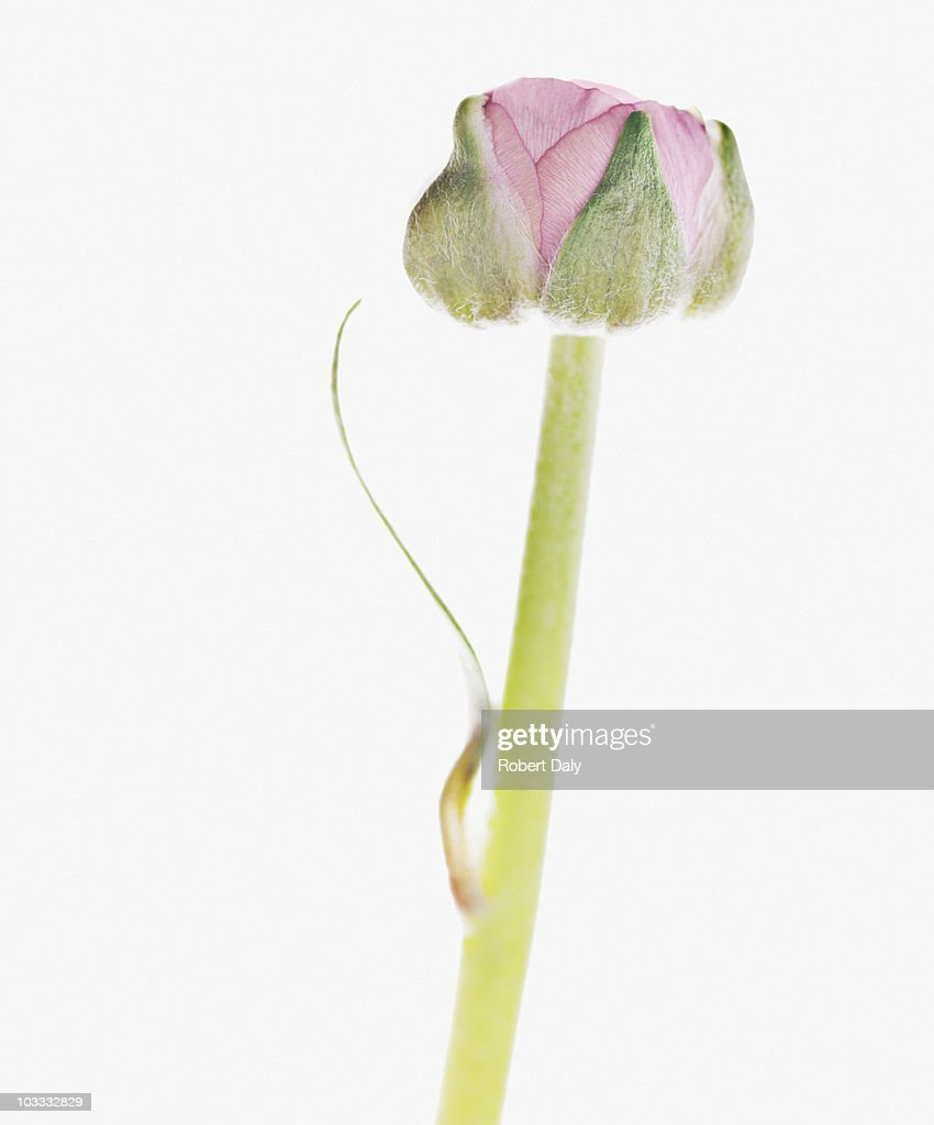 Close up of pink ranunculus beginning to bloom : Stock Photo