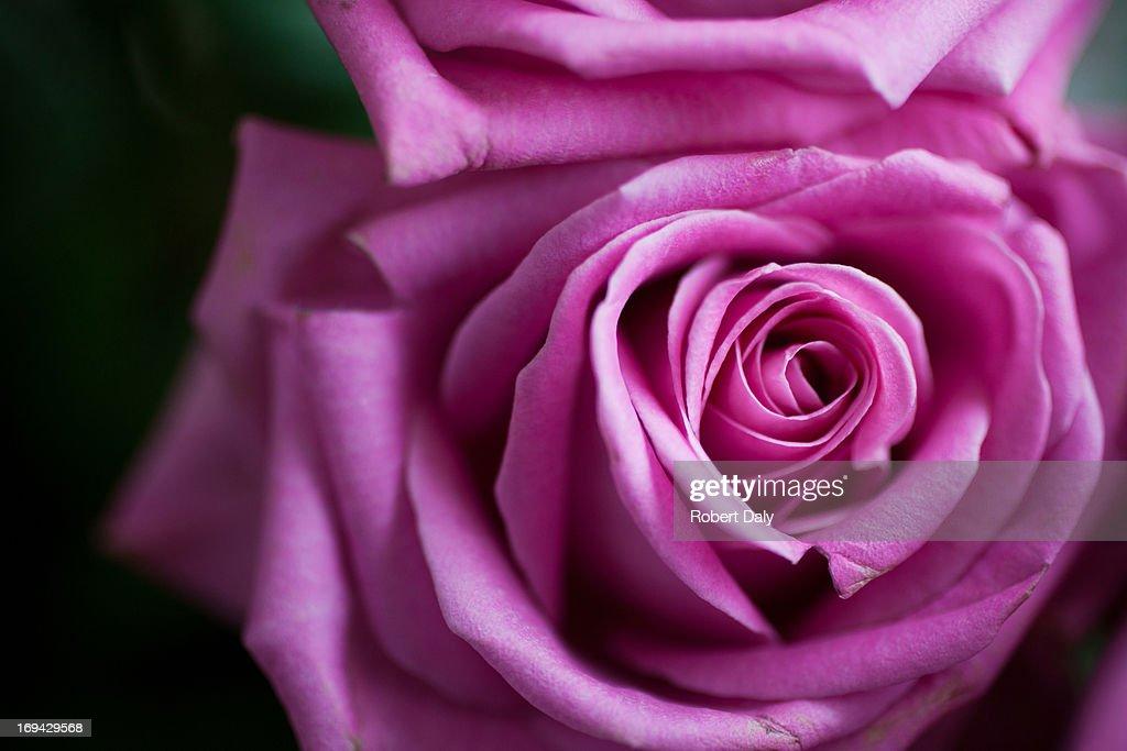 Close up of pink rose : Stock Photo