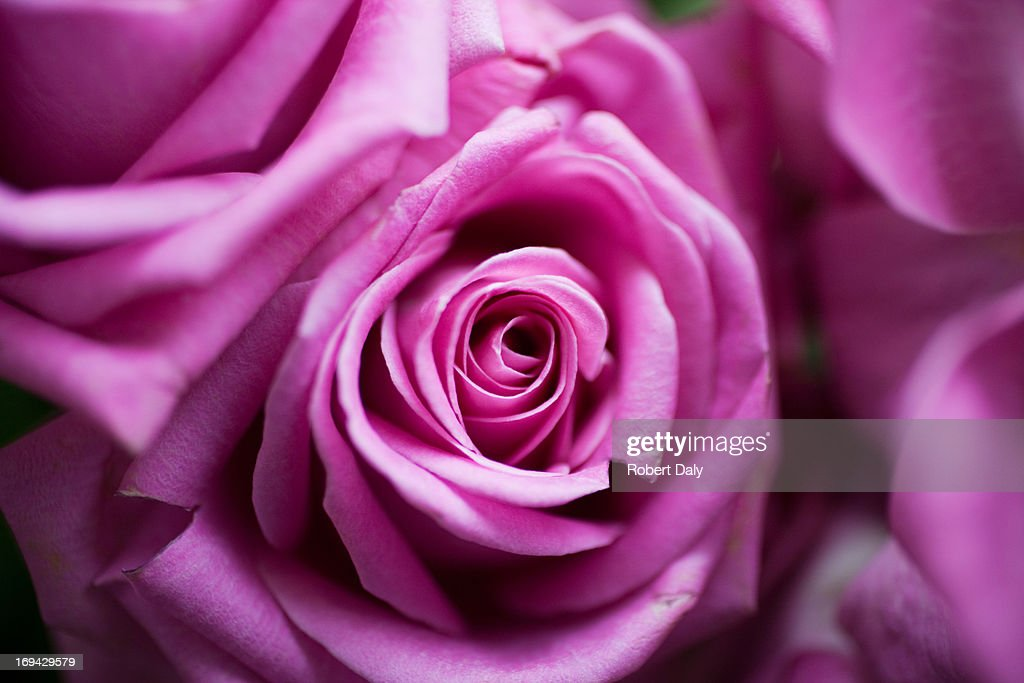 Close up of pink rose : Stock Photo