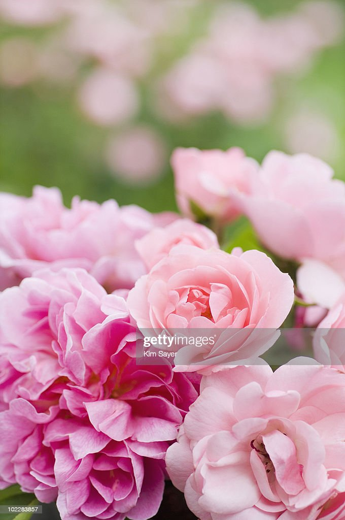 Close up of pink roses : Stock Photo