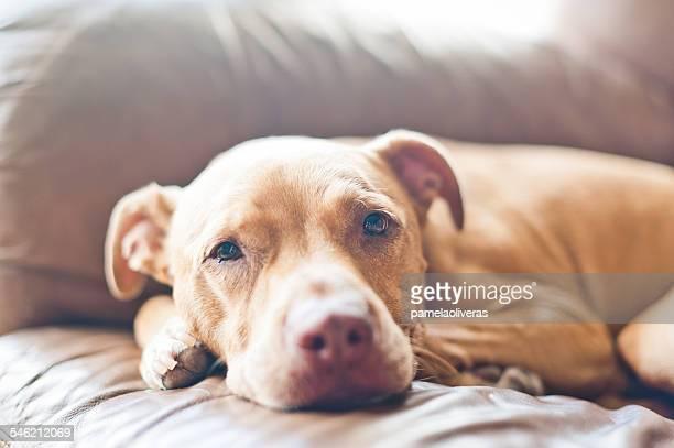Close up of pit bull dog lying on sofa