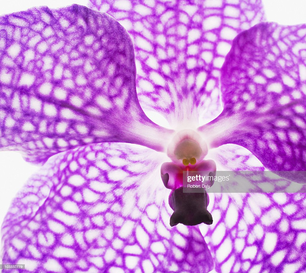 Close up of purple and white orchid : Stock Photo
