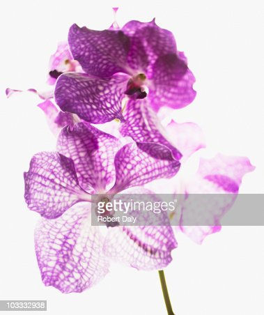Close up of purple and white orchids : Stock Photo