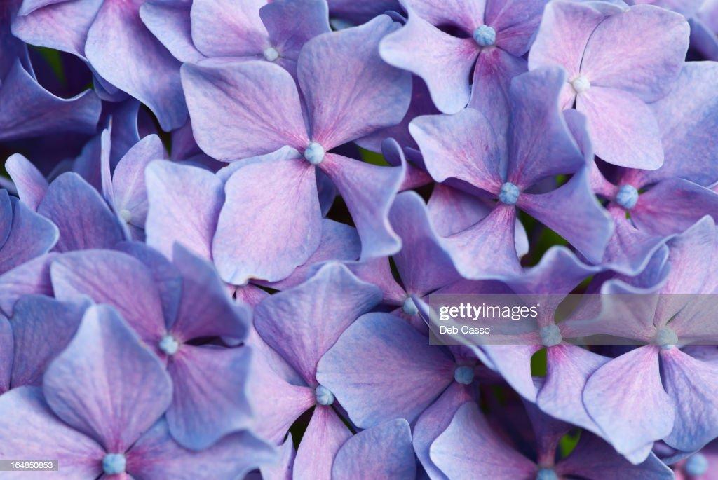 Close up of purple hydrangea flowers : Stock Photo