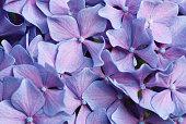 Close up of purple hydrangea flowers