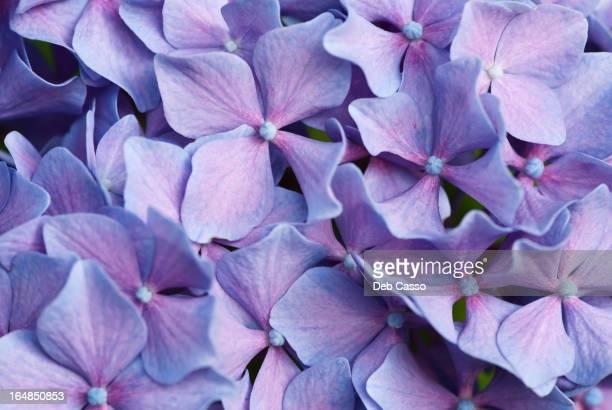 Primer plano de púrpura hortensia flores