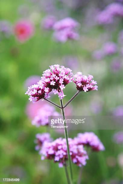 Close Up Of Purpletop Verbena Flower