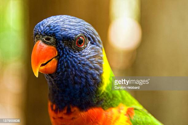 Close up of Rainbow Lorikeet