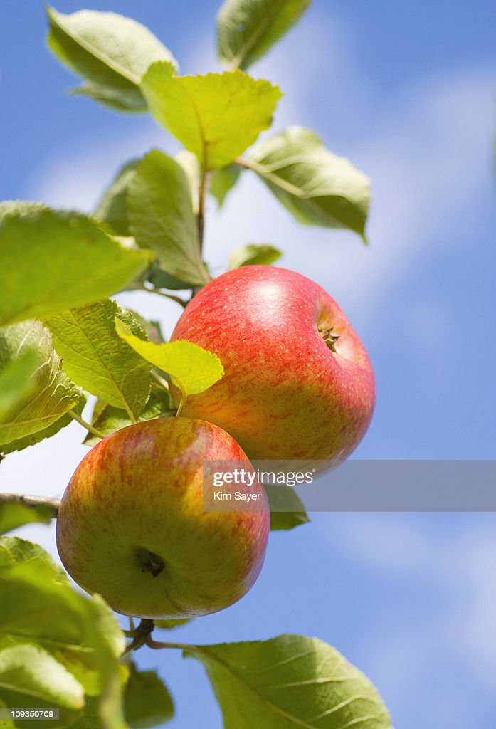 Close up of red apples on branch : Stock Photo