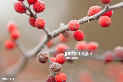 Close up of red berries : Stock Photo