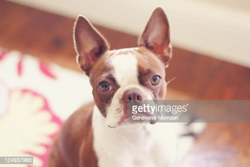 Close up of red Boston terrier