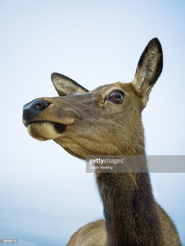 Close up of red deer doe (Cervus elaphus)  : Stock Photo