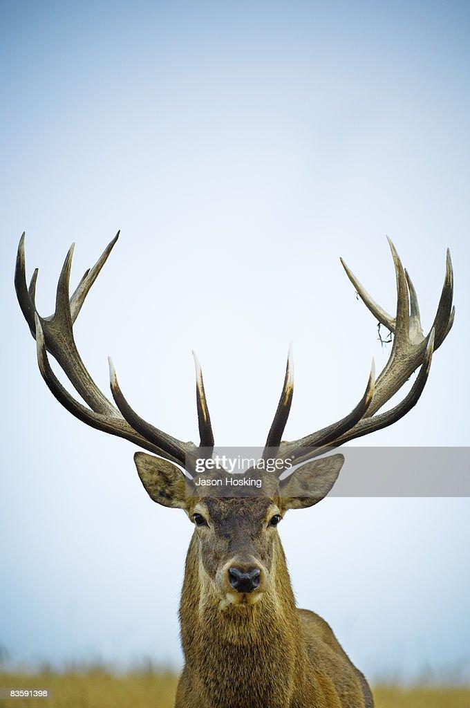 Close up of red deer stag (Cervus elaphus) : Stock Photo